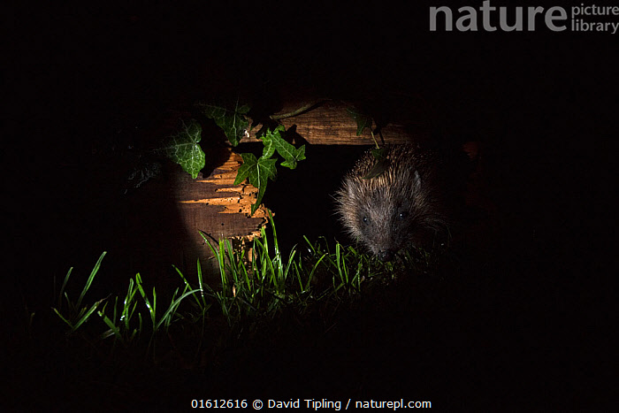 European hedgehog (Erinaceus europaeus) using hole in garden fence to move between gardens, Norfolk, England, UK., Animal,Wildlife,Vertebrate,Mammal,Hedgehog,European Hedgehog,Animalia,Animal,Wildlife,Vertebrate,Mammalia,Mammal,Erinaceomorpha,Erinaceidae,Hedgehog,Erinaceus,Erinaceus europaeus,European Hedgehog,Western European Hedgehog,Western Hedgehog,Dark,Europe,Western Europe,UK,Great Britain,England,Norfolk,Copy Space,Artifical light,Electric Light,Spotlight,Spotlights,Boundary,Fence,Garden,Hole,Night,Negative space,, David Tipling