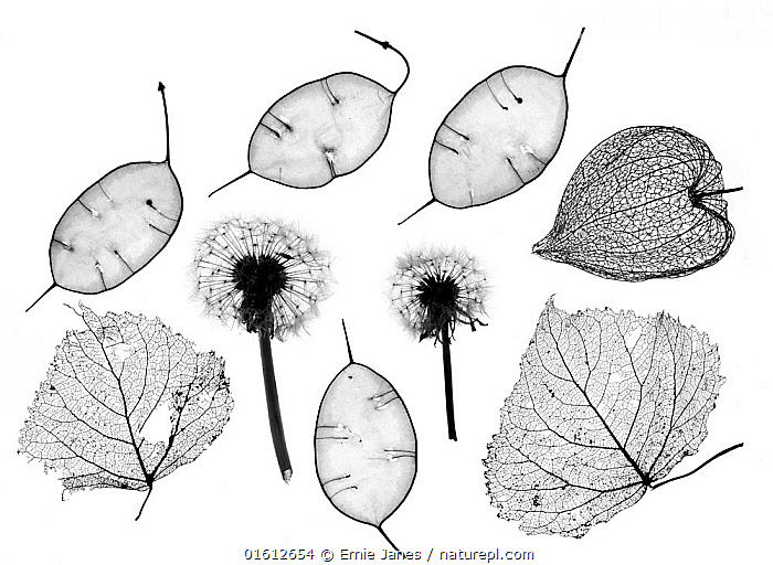 RF- Honesty seeds (Lunaria annua), Chinese lanterns (Physalis alkekengi), Dandelions (Taraxacum officinale) and skeleton leaves (This image may be licensed either as rights managed or royalty free.), Plant,Vascular plant,Flowering plant,Rosid,Crucifer,Annual honesty,Asterid,Chinese lantern plant,Bladder cherry,Dandelion,Common dandelion,Plantae,Plant,Tracheophyta,Vascular plant,Magnoliopsida,Flowering plant,Angiosperm,Seed plant,Spermatophyte,Spermatophytina,Angiospermae,Brassicales,Rosid,Dicot,Dicotyledon,Rosanae,Brassicaceae,Crucifer,Cabbage family,Mustard,Mustard flower,Cruciferae,Lunaria,Lunaria annua,Annual honesty,Crucifera lunaria,Solanales,Asterid,Asteranae,Solanaceae,Solanacees,Physalis,Chinese lantern plant,Physalis alkekengi,Bladder cherry,Chinese lantern,Japanese lantern,Winter cherry,Strawberry groundcherry,Asterales,Asteraceae,Compositae,Taraxacum,Dandelion,Taraxacum officinale,Common dandelion,Blowball,Faceclock,Taraxacum kok saghyz,Taraxacum vulgare,Pattern,Plain Background,White Background,Close Up,Back Lit,Leaf,Foliage,Seed,Seeds,Seed Head,Seed Heads,Arty shots,Silhouette,Fruit,,,RF,RF4,, Ernie  Janes