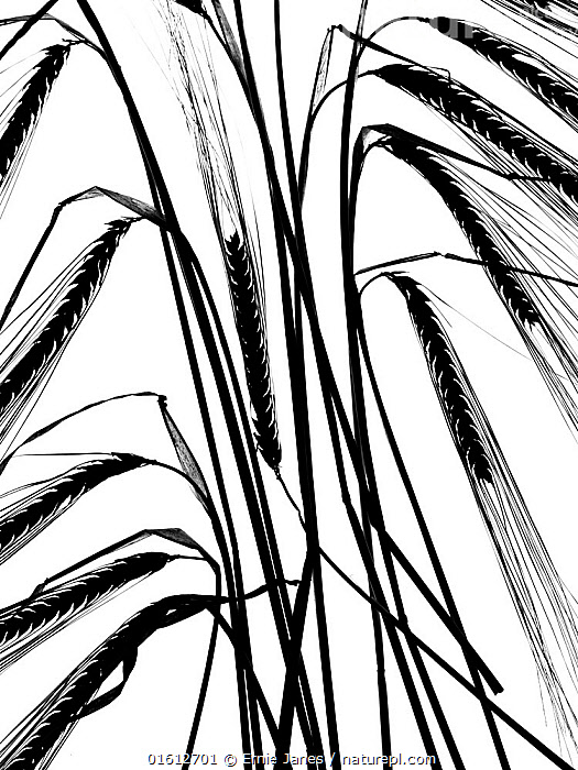 Ripe Barley (Hordeum vulgare) ears black and white backlit image., Plant,Vascular plant,Flowering plant,Monocot,Grass,Barley,Plantae,Plant,Tracheophyta,Vascular plant,Magnoliopsida,Flowering plant,Angiosperm,Seed plant,Spermatophyte,Spermatophytina,Angiospermae,Poales,Monocot,Monocotyledon,Lilianae,Poaceae,Grass,True grass,Gramineae,Hordeum,Barley,Hordeum vulgare,Cereal barley,Common barley,Two rowed barley,Europe,Western Europe,UK,Great Britain,England,Plain Background,White Background,Back Lit,Crops,Produce,Cultivated,Seed,Seeds,Arty shots,Silhouette,, Ernie  Janes