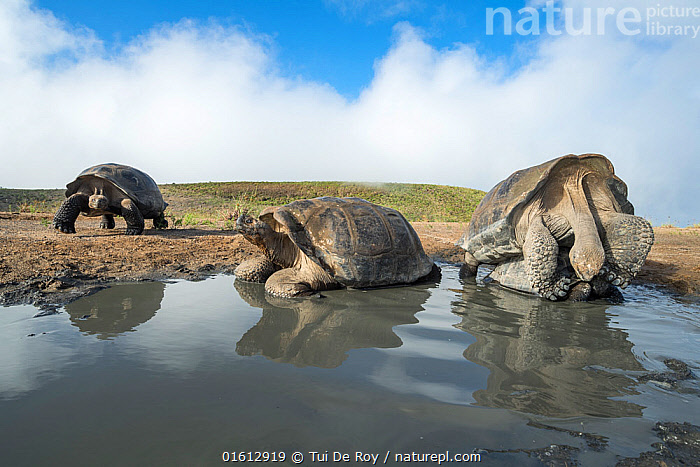 Alcedo giant tortoise (Chelonoidis vandenburghi) pair mating in shallow pool, with two others resting nearby. Alcedo Volcano, Isabela Island, Galapagos, Animal,Wildlife,Vertebrate,Reptile,Testitudine,Tortoises,Testudo vandenburghi,Animalia,Animal,Wildlife,Vertebrate,Reptilia,Reptile,Chelonii,Testitudine,Testudinidae,Tortoises,Turtle,Chelonoidis,Chelonoidis vandenburghi,Testudo vandenburghi,Geochelone nigra vandenburghi,Chelonoidis nigra vandenburghi,Two,Latin America,South America,Galapagos Islands,Galapagos,Freshwater,Water,Animal Behaviour,Reproduction,Mating Behaviour,Copulation,Male female pair,Behaviour,Biodiversity hotspot,Pool,Isabela Island,Behavioural,Galapagos National Park,UNESCO World Heritage Site,Endangered species,threatened,Vulnerable,, catalogue11, Tui De Roy