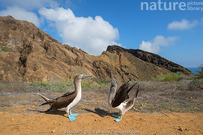 Blue-footed booby (Sula nebouxii), pair in courtship display. Punta Pitt, San Cristobal Island, Galapagos. April 2017., Animal,Wildlife,Vertebrate,Bird,Birds,Phalacrocoraciformes,Sulid,Booby,Blue footed booby,Animalia,Animal,Wildlife,Vertebrate,Aves,Bird,Birds,Suliformes,Phalacrocoraciformes,Sulidae,Sulid,Sula,Booby,Sula nebouxii,Blue footed booby,Courting,Two,Latin America,South America,Galapagos Islands,Galapagos,Copy Space,Profile,Side View,Hill,Rock,Landscape,Animal Behaviour,Reproduction,Mating Behaviour,Courtship,Display,Male female pair,Behaviour,Displaying,Biodiversity hotspot,Negative space,Behavioural,Galapagos National Park,UNESCO World Heritage Site,Punta Pitt,Seabird,Seabirds,Marine bird,Marine birds, Tui De Roy