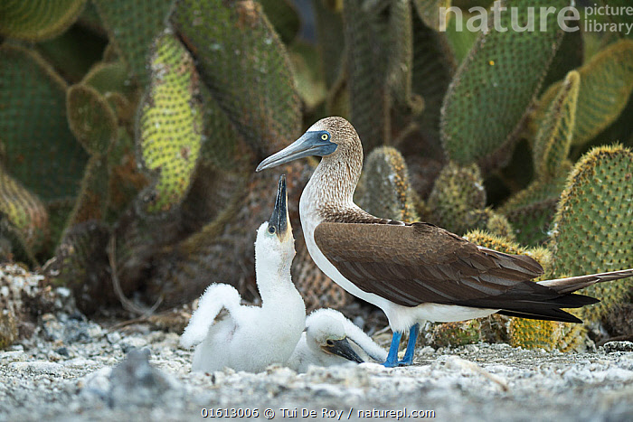 Blue-footed booby (Sula nebouxii) with two chicks at nest. Prickly pear (Opuntia sp) in background. Punta Vicente Roca, Isabela Island, Galapagos., Plant,Vascular plant,Flowering plant,Dicot,Cactus,Nopale,Animal,Wildlife,Vertebrate,Bird,Birds,Phalacrocoraciformes,Sulid,Booby,Blue footed booby,Plantae,Plant,Tracheophyta,Vascular plant,Magnoliopsida,Flowering plant,Angiosperm,Seed plant,Spermatophyte,Spermatophytina,Angiospermae,Caryophyllales,Dicot,Dicotyledon,Caryophyllanae,Centrospermae,Cactaceae,Cactus,Opuntia,Nopale,Paddle cactus,Prickly pear,Pricklypear,Prickley pear,Animalia,Animal,Wildlife,Vertebrate,Aves,Bird,Birds,Suliformes,Phalacrocoraciformes,Sulidae,Sulid,Sula,Booby,Sula nebouxii,Blue footed booby,Standing,Few,Three,Two,Group,Latin America,South America,Galapagos Islands,Galapagos,Profile,Side View,Young Animal,Baby,Chick,Animal Behaviour,Family,Behaviour,Biodiversity hotspot,Begging,Two animals,Parent baby,Three Animals,Isabela Island,Behavioural,Galapagos National Park,UNESCO World Heritage Site,Punta Vicente Roca,Seabird,Seabirds,Marine bird,Marine birds, Tui De Roy