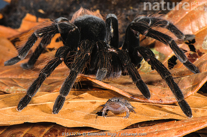 Peruvian Tarantula (Pamphobeteus sp.) adult, walking over Humming Frog (Chiasmocleis royi) without preying on it. Los Amigos Biological Station, Madre de Dios, Amazonia, Peru. These species have a commensal relationship. The tarantula protects the frog whilst the frog foraging keeps ants away from the tarantulas eggs.  ,  FLPA submitted,FLPA_submitted,,Animal,Wildlife,Arthropod,Arachnid,Spider,Tarantula,Vertebrate,Frog,Narrow-mouthed frog,Animalia,Animal,Wildlife,Chelicerata,Arthropod,Chelicerate,Arthropoda,Arachnida,Arachnid,Aranae,Spider,Theraphosidae,Tarantula,Pamphobeteus,Vertebrate,Amphibia,Anura,Frog,Microhylidae,Narrow-mouthed frog,Scare,Scary,Protection,Friendship,Latin America,South America,Peru,Animal Behaviour,Mixed species,Behaviour,Unlikely friends,Unusual friends,Invertebrate,Interesting,Amphibian,Protector,Commensalism,Behavioural,Commensal,Chiasmocleis royi,,, catalogue11  ,  Emanuele Biggi