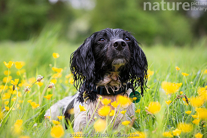 Black and white springer spaniel amongst buttercups, Chilbolton Cow Common SSSI, Hampshire, UK  ,  Canis familiaris,Focus,Colour,Animal,Pet Collar,Tag,Dog Collar,Dog Collars,Outdoors,Nature,Domestic animal,Pet,Domestic Dog,Gun dog,Medium dog,English Springer Spaniel,Domesticated,Canis familiaris,Dog,Focused,Spaniel,Mammal,Black and white,  ,  TJ Rich