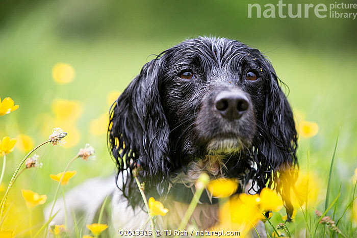 Black and white springer spaniel amongst buttercups, Chilbolton Cow Common SSSI, Hampshire  ,  Canis familiaris,Lying down,Focus,Colour,Animal,Outdoors,Nature,Domestic animal,Pet,Domestic Dog,Gun dog,Medium dog,English Springer Spaniel,Domesticated,Canis familiaris,Dog,Focused,Spaniel,Mammal,Black and white,  ,  TJ Rich