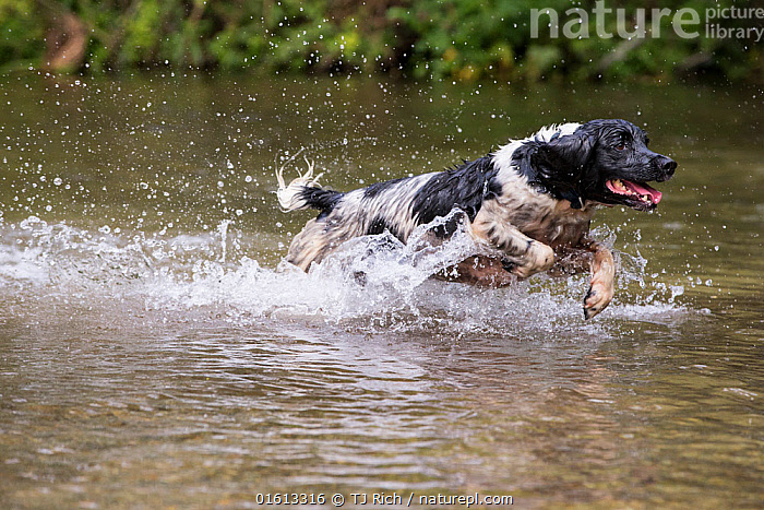 Black and white springer spaniel running in river. River Test, Chilbolton Cow Common SSSI, Hampshire, UK  ,  Canis familiaris,Running,Colour,Animal,Outdoors,Nature,Water,Domestic animal,Pet,Domestic Dog,Gun dog,Medium dog,English Springer Spaniel,Domesticated,Canis familiaris,Dog,Moving,Spaniel,Mammal,Movement,Black and white,  ,  TJ Rich