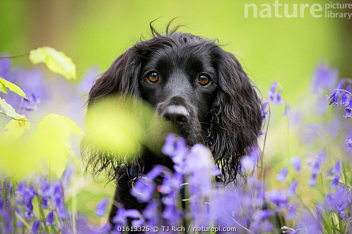 Black working cocker spaniel in bluebells, in beech woodland, Micheldever Woods, Hampshire, UK, Canis familiaris,Focus,Colour,Black,Animal,Plant,Lily Order,Iris Family,Bluebell,Bluebells,Outdoors,Spring,Nature,Domestic animal,Pet,Domestic Dog,Gun dog,Medium dog,Cocker Spaniel,Domesticated,Canis familiaris,Dog,Focused,Spaniel,Mammal,Working cocker spaniel,, TJ Rich