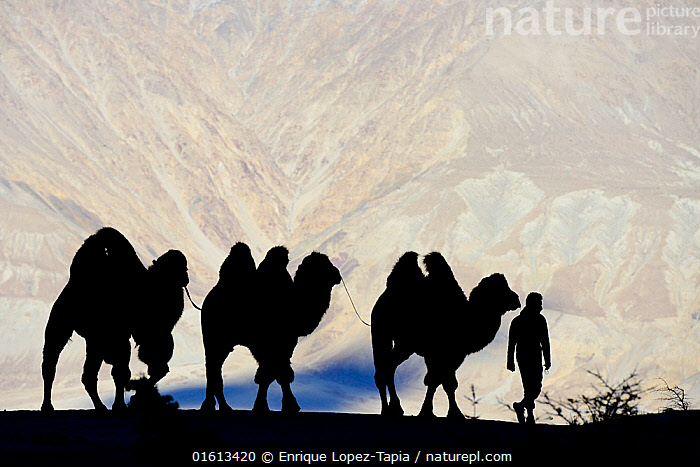 Man leading Bactrian camels (Camelus bactrianus) in sand dunes, Nubra Valley. Ladakh,,India, September 2018.  ,  Animal,Wildlife,Vertebrate,Mammal,Camelid,Camel,Bactrian Camel,Animalia,Animal,Wildlife,Vertebrate,Mammalia,Mammal,Artiodactyla,Even-toed ungulates,Camelidae,Camelid,Tylopoda,Camelus,Camel,Camelus bactrianus,Bactrian Camel,Wild Bactrian Camel,Camelus ferus,Few,Three,Group,Asia,Indian Subcontinent,India,Back Lit,Domestic animal,Silhouette,Domesticated,Jammu and Kashmir,Ladakh,Domestic camel,Endangered species,threatened,Critically endangered  ,  Enrique Lopez-Tapia