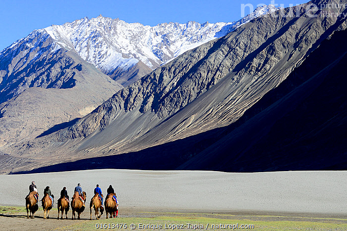 Tourists riding Bactrian camels (Camelus bactrianus) in sand dunes, Nubra Valley. Ladakh, India, September 2018., Animal,Wildlife,Vertebrate,Mammal,Camelid,Camel,Bactrian Camel,Animalia,Animal,Wildlife,Vertebrate,Mammalia,Mammal,Artiodactyla,Even-toed ungulates,Camelidae,Camelid,Tylopoda,Camelus,Camel,Camelus bactrianus,Bactrian Camel,Wild Bactrian Camel,Camelus ferus,People,Tourist,Tourists,Asia,Indian Subcontinent,India,Mountain,Landscape,Domestic animal,Domesticated,Jammu and Kashmir,Ladakh,Domestic camel,Endangered species,threatened,Critically endangered, Enrique Lopez-Tapia