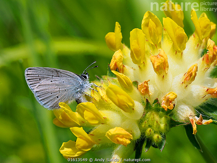 Small blue butterfly (Cupido minimus) female laying eggs among flowers of Kidney Vetch (Anthyllis vulneraria), Hertfordshire, England, UK, May  ,  Plant,Vascular plant,Flowering plant,Rosid,Legume,Kidneyvetch,Common kidneyvetch,Animal,Wildlife,Arthropod,Insect,Gossamer winged butterfly,Small blue,Plantae,Plant,Tracheophyta,Vascular plant,Magnoliopsida,Flowering plant,Angiosperm,Seed plant,Spermatophyte,Spermatophytina,Angiospermae,Fabales,Rosid,Dicot,Dicotyledon,Rosanae,Fabaceae,Legume,Pea,Bean,Leguminosae,Anthyllis,Kidneyvetch,Kidney vetch,Anthyllis vulneraria,Common kidneyvetch,Common kidney vetch,Woundwort,Anthyllis polyphylla,Anthyllis linnaei,Anthyllis alpestris,Animalia,Animal,Wildlife,Hexapoda,Arthropod,Invertebrate,Hexapod,Arthropoda,Insecta,Insect,Lepidoptera,Lepidopterans,Lycaenidae,Gossamer winged butterfly,Lycaenid,Butterfly,Papilionoidea,Cupido,Cupido minimus,Small blue,Little blue,Papilio minimus,Papilio alsus,Cupido trinacriae,Colour,Yellow,Europe,Western Europe,UK,Great Britain,England,Hertfordshire,Flower,Animal Behaviour,Reproduction,Behaviour,Egg laying,Lays,Behavioural,  ,  Andy Sands