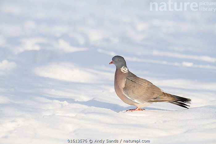 Wood pigeon (Columba palumbus) on ground after heavy snow, Hertfordshire, England, UK, December  ,  Animal,Wildlife,Vertebrate,Bird,Birds,Dove,Typical pigeon,Wood pigeon,Animalia,Animal,Wildlife,Vertebrate,Aves,Bird,Birds,Columbiformes,Dove,Pigeon,Columbidae,Columba,Typical pigeon,Columba palumbus,Wood pigeon,Ring pigeon,Ringdove,Cushat,Cushie doo,Quest,Woodpigeon,Temperature,Cold,Europe,Western Europe,UK,Great Britain,England,Hertfordshire,Profile,Side View,Snow,Winter,  ,  Andy Sands
