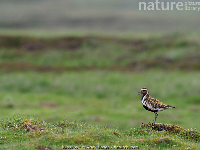 Golden plover (Pluvialis apricaria) male calling from short turf in Pennines, Upper Teesdale, Co Durham, England, UK, June  ,  Animal,Wildlife,Vertebrate,Bird,Birds,Wader,Golden plover,Animalia,Animal,Wildlife,Vertebrate,Aves,Bird,Birds,Charadriiformes,Charadriidae,Wader,Shorebird,Pluvialis,Golden plover,Plover,True plover,Charadriinae,Pluvialis apricaria,Greater golden plover,European golden plover,Eurasian golden plover,Europe,Western Europe,UK,Great Britain,England,County Durham,Durham,Male Animal,  ,  Andy Sands