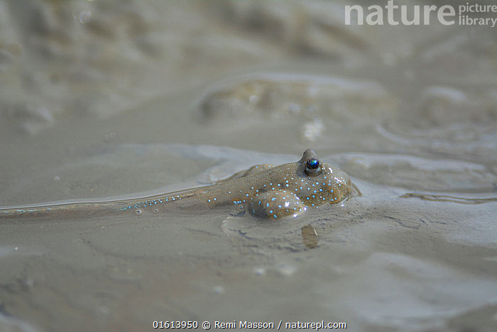 Great blue spotted mudskipper (Boleophthalmus pectinirostris) submerged with head above mud. Kyushu Island, Japan.  ,  Animal,Wildlife,Vertebrate,Ray-finned fish,Percomorphi,Goby,Mudskipper,Bluespotted mudhopper,Animalia,Animal,Wildlife,Vertebrate,Actinopterygii,Ray-finned fish,Osteichthyes,Bony fish,Fish,Perciformes,Percomorphi,Acanthopteri,Gobiidae,Goby,Boleophthalmus,Mudskipper,Boleophthalmus pectinirostris,Bluespotted mudhopper,Boleophthalmus pectinirostri,Gobius pectinirostris,Asia,East Asia,Japan,Kyushu,Kyushu District,Kyushu Island,Animal Eye,Eyes,Mud,Muddy,Biodiversity hotspot,  ,  Remi Masson