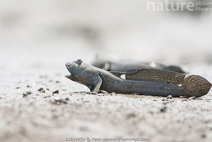 Great blue spotted mudskipper (Boleophthalmus pectinirostris) with mouth open in aggressive pose, on mud at low tide. Kyushu Island, Japan. August.  ,  Animal,Wildlife,Vertebrate,Ray-finned fish,Percomorphi,Goby,Mudskipper,Bluespotted mudhopper,Animalia,Animal,Wildlife,Vertebrate,Actinopterygii,Ray-finned fish,Osteichthyes,Bony fish,Fish,Perciformes,Percomorphi,Acanthopteri,Gobiidae,Goby,Boleophthalmus,Mudskipper,Boleophthalmus pectinirostris,Bluespotted mudhopper,Boleophthalmus pectinirostri,Gobius pectinirostris,Pattern,Spotted,Asia,East Asia,Japan,Kyushu,Kyushu District,Kyushu Island,Copy Space,Mouth,Fin,Fins,Dorsal Fin,Dorsal Fins,Animal Behaviour,Territorial,Aggression,Behaviour,Biodiversity hotspot,Negative space,Open Mouth,Behavioural,  ,  Remi Masson