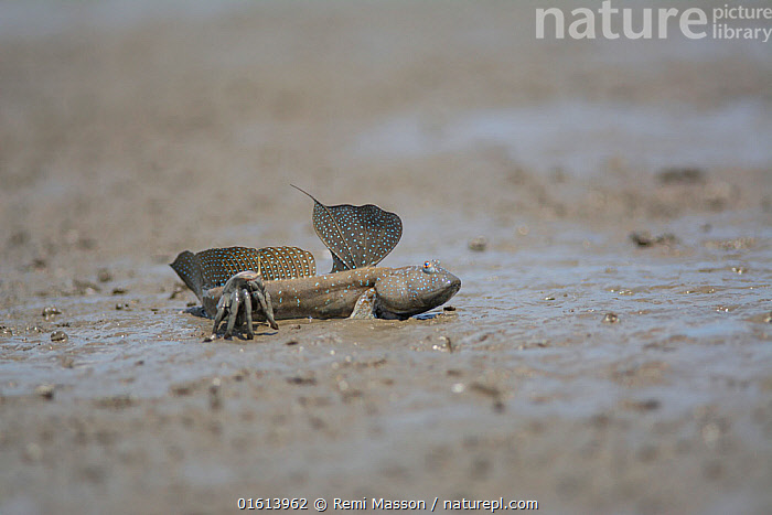 Great blue spotted mudskipper (Boleophthalmus pectinirostris) resting in mud at low tide. Kyushu Island, Japan. August.  ,  Animal,Wildlife,Vertebrate,Ray-finned fish,Percomorphi,Goby,Mudskipper,Bluespotted mudhopper,Animalia,Animal,Wildlife,Vertebrate,Actinopterygii,Ray-finned fish,Osteichthyes,Bony fish,Fish,Perciformes,Percomorphi,Acanthopteri,Gobiidae,Goby,Boleophthalmus,Mudskipper,Boleophthalmus pectinirostris,Bluespotted mudhopper,Boleophthalmus pectinirostri,Gobius pectinirostris,Resting,Rest,Pattern,Spotted,Asia,East Asia,Japan,Kyushu,Kyushu District,Kyushu Island,Fin,Fins,Dorsal Fin,Dorsal Fins,Biodiversity hotspot,  ,  Remi Masson