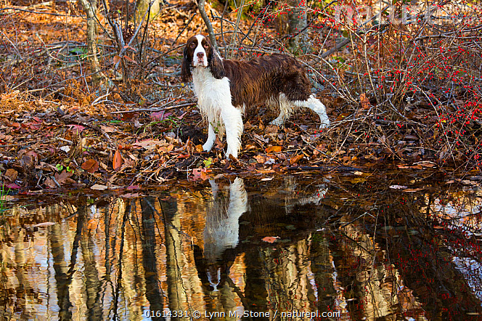 English Springer spaniel standing in autumn woodland, Cockaponset State Forest, Connecticut, USA. November.  ,  Canis familiaris,American,Standing,North America,USA,Eastern USA,New England,Connecticut,Animal,Plant,Leaf,Foliage,Reflection,Outdoors,Autumn,Woodland,Freshwater,Pond,Water,Domestic animal,Pet,Forest,Domestic Dog,Gun dog,Domesticated,Canis familiaris,Dog,American,Mammal,United States of America,Pedigree,  ,  Lynn M. Stone
