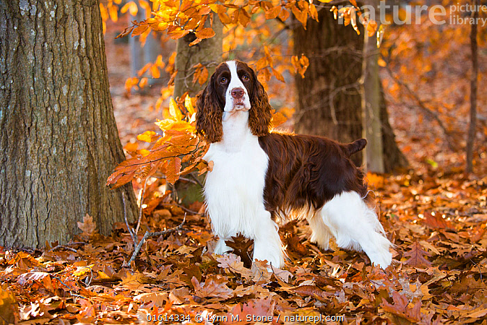 English Springer spaniel standing in autumn woodland, Cockaponset State Forest, Connecticut, USA. November.  ,  Canis familiaris,American,Standing,North America,USA,Eastern USA,New England,Connecticut,Animal,Plant,Leaf,Foliage,Outdoors,Autumn,Woodland,Domestic animal,Pet,Forest,Domestic Dog,Gun dog,Domesticated,Canis familiaris,Dog,American,Mammal,United States of America,Pedigree,  ,  Lynn M. Stone