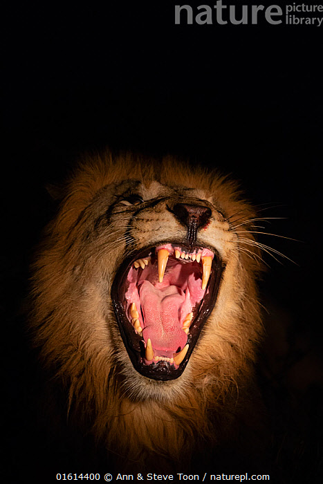 Lion (Panthera leo) male snarling at night, Zimanga private game reserve, KwaZulu-Natal, South Africa, September  ,  Animal,Wildlife,Vertebrate,Mammal,Carnivore,Cat,Big cat,Lion,Animalia,Animal,Wildlife,Vertebrate,Mammalia,Mammal,Carnivora,Carnivore,Felidae,Cat,Panthera,Big cat,Panthera leo,Vocalisation,Growling,Danger,Scare,Scary,Africa,Southern Africa,South Africa,Night,Animal Behaviour,Reserve,Lion,Behaviour,Protected area,South African,KwaZulu-Natal Province,Behavioural,  ,  Ann  & Steve Toon