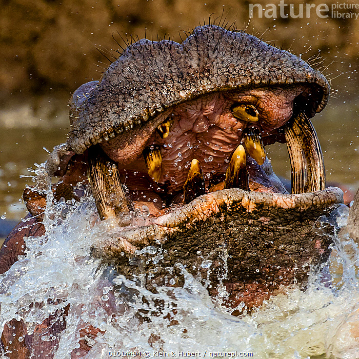 Hippopotamus (Hippopotamus amphibius) charging in Luangwa river, close up of mouth and teeth, Zambia  ,  Animal,Wildlife,Vertebrate,Mammal,Hippopotomus,Hippotomuses,Animalia,Animal,Wildlife,Vertebrate,Mammalia,Mammal,Artiodactyla,Even-toed ungulates,Hippotamidae,Hippopotomus,Hippo,Hippopotamus,Hippotomuses,Hippotomi,Hippos,Hippopotamus amphibius,Scare,Scary,Africa,Zambia,Southern Africa,Flowing Water,River,Freshwater,Water,Animal Behaviour,Territorial,Aggression,Reserve,Behaviour,Protected area,National Park,Behavioural,  ,  Klein & Hubert
