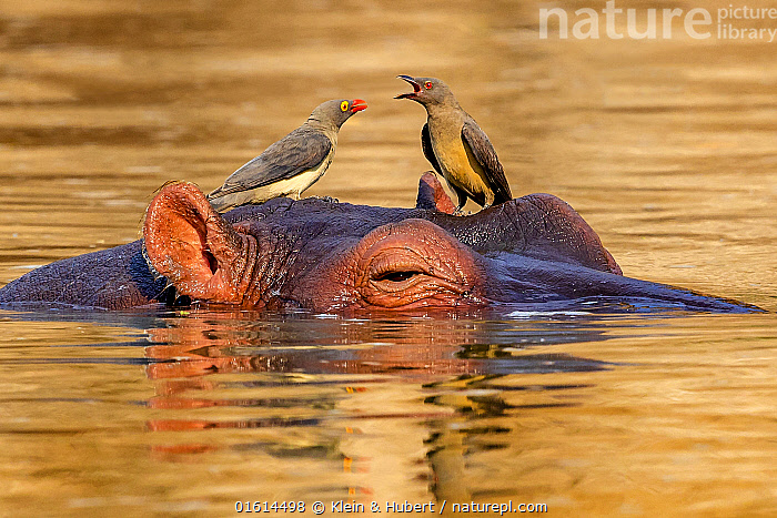 Hippopotamus (Hippopotamus amphibius) with Red-bellied oxpeckers (Buphagus erythrorhynchus) on his head in river, Luangwa National Park, Zambia, Animal,Wildlife,Vertebrate,Bird,Birds,Songbird,Oxpecker,Red billed oxpecker,Mammal,Hippopotomus,Hippotomuses,Animalia,Animal,Wildlife,Vertebrate,Aves,Bird,Birds,Passeriformes,Songbird,Passerine,Buphagidae,Oxpecker,Buphagus,Buphagus erythrorhynchus,Red billed oxpecker,Tanagra erythrorhyncha,Mammalia,Mammal,Artiodactyla,Even-toed ungulates,Hippotamidae,Hippopotomus,Hippo,Hippopotamus,Hippotomuses,Hippotomi,Hippos,Hippopotamus amphibius,Two,Africa,Zambia,Southern Africa,Flowing Water,River,Freshwater,Water,Animal Behaviour,Reserve,Mixed species,Behaviour,Protected area,National Park,Commensalism,Behavioural,Commensal,, Klein & Hubert