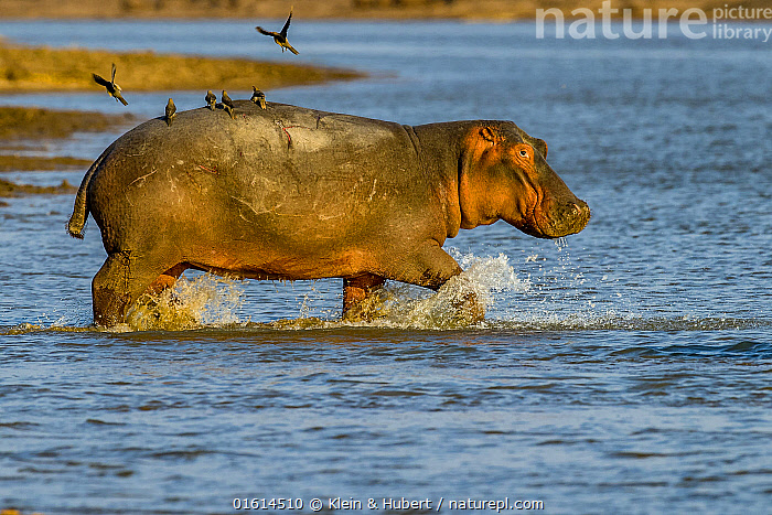 Hippopotamus (Hippopotamus amphibius) with Red-billed oxpeckers (Buphagus erythrorhynchus) taking off from back, entering water in the Luangwa River, Luangwa National Park, Zambia  ,  Animal,Wildlife,Vertebrate,Bird,Birds,Songbird,Oxpecker,Red billed oxpecker,Mammal,Hippopotomus,Hippotomuses,Animalia,Animal,Wildlife,Vertebrate,Aves,Bird,Birds,Passeriformes,Songbird,Passerine,Buphagidae,Oxpecker,Buphagus,Buphagus erythrorhynchus,Red billed oxpecker,Tanagra erythrorhyncha,Mammalia,Mammal,Artiodactyla,Even-toed ungulates,Hippotamidae,Hippopotomus,Hippo,Hippopotamus,Hippotomuses,Hippotomi,Hippos,Hippopotamus amphibius,Taking Off,Africa,Zambia,Southern Africa,Flowing Water,River,Freshwater,Water,Reserve,Mixed species,Protected area,National Park,  ,  Klein & Hubert