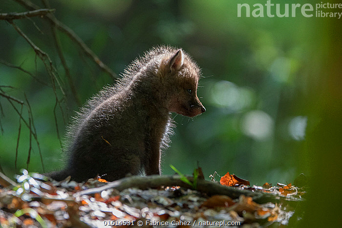Red fox (Vulpes vulpes) cub, Vosges, France, May.  ,  Animal,Wildlife,Vertebrate,Mammal,Carnivore,Canid,True fox,Red fox,Animalia,Animal,Wildlife,Vertebrate,Mammalia,Mammal,Carnivora,Carnivore,Canidae,Canid,Vulpes,True fox,Vulpini,Caninae,Vulpes vulpes,Red fox,Europe,Western Europe,France,Lorraine,Vosges,  ,  Fabrice  Cahez