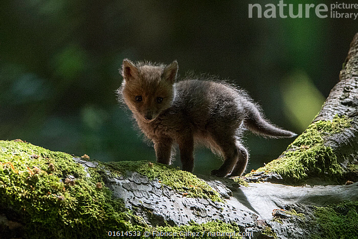 Red fox (Vulpes vulpes) cub, Vosges, France, May.  ,  Animal,Wildlife,Vertebrate,Mammal,Carnivore,Canid,True fox,Red fox,Animalia,Animal,Wildlife,Vertebrate,Mammalia,Mammal,Carnivora,Carnivore,Canidae,Canid,Vulpes,True fox,Vulpini,Caninae,Vulpes vulpes,Red fox,Europe,Western Europe,France,Lorraine,Vosges,,,catalogue12  ,  Fabrice  Cahez