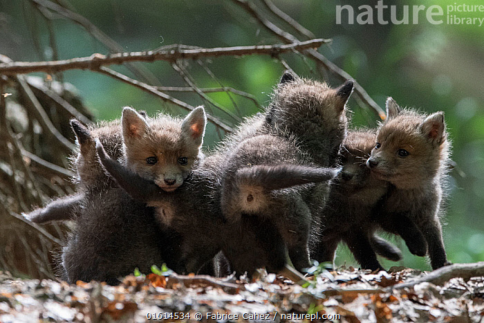 Red fox (Vulpes vulpes) cubs playing, Vosges, France, May.  ,  Animal,Wildlife,Vertebrate,Mammal,Carnivore,Canid,True fox,Red fox,Animalia,Animal,Wildlife,Vertebrate,Mammalia,Mammal,Carnivora,Carnivore,Canidae,Canid,Vulpes,True fox,Vulpini,Caninae,Vulpes vulpes,Red fox,Europe,Western Europe,France,Lorraine,Vosges,,,catalogue12  ,  Fabrice  Cahez