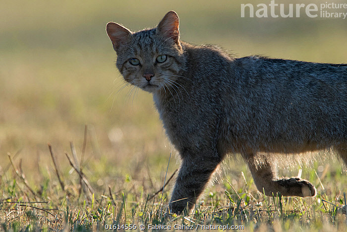 Wild cat (Felis silvestris) walking, Vosges, France, June., Animal,Wildlife,Vertebrate,Mammal,Carnivore,Cat,Wildcat,Animalia,Animal,Wildlife,Vertebrate,Mammalia,Mammal,Carnivora,Carnivore,Felidae,Cat,Felis,Felis silvestris,Wildcat,Wild Cat,Europe,Western Europe,France,Lorraine,Vosges,, Fabrice  Cahez