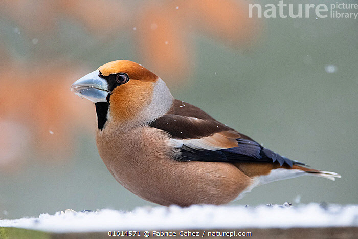 Hawfinch (Coccothrauste coccothraustes) in snow, Vosges, France, March.  ,  Europe,Western Europe,France,Lorraine,Profile,Side View,Snow,Vosges,  ,  Fabrice  Cahez