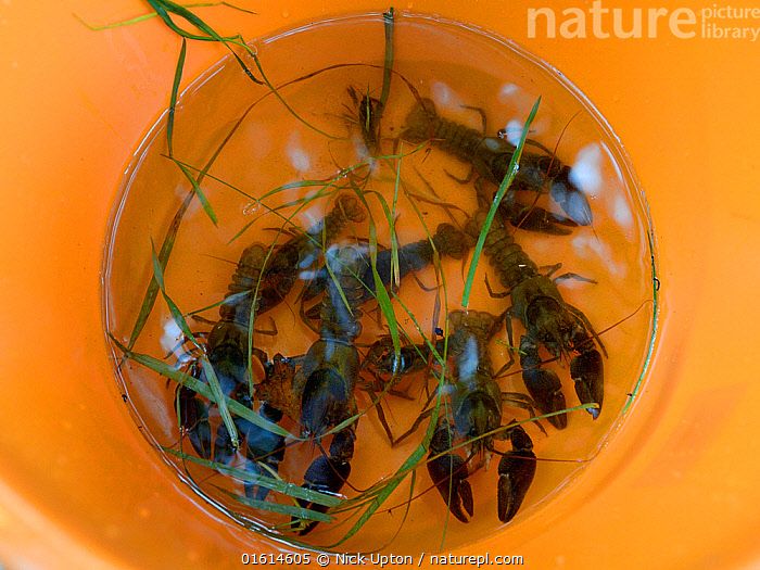 White-clawed crayfish (Austropotamobius pallipes) collected from a well-stocked stream in a bucket ready for release at an ARK site, safe from Signal crayfish (Pacifastacus leniusculus) and Crayfish plague, England, UK, October 2018.  ,  Animal,Wildlife,Crustacean,Decapod,Crayfish,Signal crayfish,White clawed crayfish,Animalia,Animal,Wildlife,Crustracea,Crustacean,Malacostraca,Decapoda,Decapod,Astacidae,Crayfish,Pacifastacus,Pacifastacus leniusculus,Signal crayfish,Austropotamobius,Austropotamobius pallipes,White clawed crayfish,Astacus pallipes,Research,Researching,Europe,Western Europe,UK,Great Britain,England,Science,Conservation,Arthropod,Arthropods,Wildlife conservation,Invertebrate,Translocation,Translocating,Freshwater,Endangered species,threatened,Endangered  ,  Nick Upton