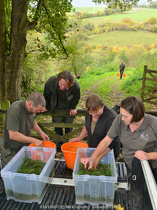 GWT team placing White-clawed crayfish (Austropotamobius pallipes) collected from a well-stocked stream in buckets for release at an ARK site, safe from Signal crayfish (Pacifastacus leniusculus) and Crayfish plague, UK, October 2018. Model released.  ,  Animal,Wildlife,Crustacean,Decapod,Crayfish,Signal crayfish,White clawed crayfish,Animalia,Animal,Wildlife,Crustracea,Crustacean,Malacostraca,Decapoda,Decapod,Astacidae,Crayfish,Pacifastacus,Pacifastacus leniusculus,Signal crayfish,Austropotamobius,Austropotamobius pallipes,White clawed crayfish,Astacus pallipes,People,Research,Researching,Europe,Western Europe,UK,Great Britain,England,Science,Conservation,Arthropod,Arthropods,Wildlife conservation,Invertebrate,Translocation,Translocating,Freshwater,Endangered species,threatened,Endangered  ,  Nick Upton