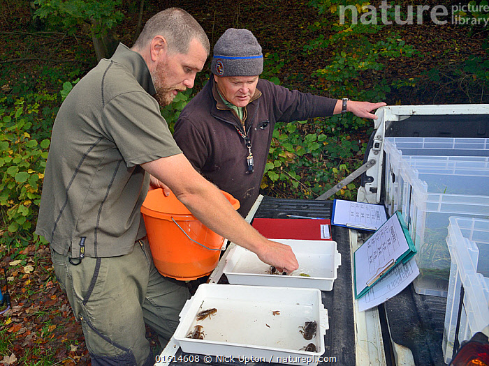 John Field placing White-clawed crayfish (Austropotamobius pallipes) in an inspection tray for sexing and health checks ahead of translocation to an ARK site, safe from Signal crayfish (Pacifastacus leniusculus) and Crayfish plague, England, UK, October 2018. Model released.  ,  Animal,Wildlife,Crustacean,Decapod,Crayfish,Signal crayfish,White clawed crayfish,Animalia,Animal,Wildlife,Crustracea,Crustacean,Malacostraca,Decapoda,Decapod,Astacidae,Crayfish,Pacifastacus,Pacifastacus leniusculus,Signal crayfish,Austropotamobius,Austropotamobius pallipes,White clawed crayfish,Astacus pallipes,People,Research,Researching,Europe,Western Europe,UK,Great Britain,England,Science,Conservation,Arthropod,Arthropods,Wildlife conservation,Invertebrate,Translocation,Translocating,Freshwater,Endangered species,threatened,Endangered  ,  Nick Upton
