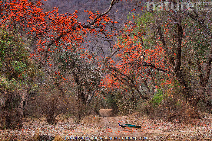 Indian peafowl (Pavo cristatus), peacock walking across track between flowering Bengal kino / Flame of the forest (Butea monosperma) trees. Ranthambore National Park, Rajasthan, India., Plant,Vascular plant,Flowering plant,Rosid,Legume,Bengal kino tree,Animal,Wildlife,Vertebrate,Bird,Birds,Peafowl,Common peafowl,Plantae,Plant,Tracheophyta,Vascular plant,Magnoliopsida,Flowering plant,Angiosperm,Seed plant,Spermatophyte,Spermatophytina,Angiospermae,Fabales,Rosid,Dicot,Dicotyledon,Rosanae,Fabaceae,Legume,Pea,Bean,Leguminosae,Butea,Butea monosperma,Bengal kino tree,Flame of the forest tree,Palash tree,Dhak,Bastard teak,Butea braamania,Butea frondosa,Plaso monosperma,Animalia,Animal,Wildlife,Vertebrate,Aves,Bird,Birds,Galliformes,Galliforms,Galloanserae,Phasianidae,Pavo,Peafowl,Peacock,Peahen,Phasianinae,Pavo cristatus,Common peafowl,Indian peafowl,Blue peafowl,Indian peacock,Crossing,Crossing The Road,Walking,Asia,Indian Subcontinent,India,Flower,Tree,Road,Landscape,Reserve,Protected area,National Park,Rajasthan,Moving,Ranthambore National Park,Movement,, Karine Aigner