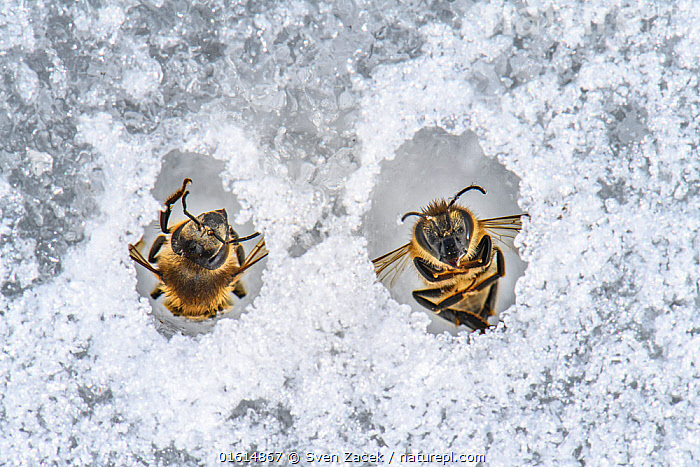 Honey bee (Apis mellifera), two frozen on pond ice after flying out too early. Valgamaa, Southern Estonia. March., Animal,Wildlife,Arthropod,Insect,Bee,Honey bee,Animalia,Animal,Wildlife,Hexapoda,Arthropod,Invertebrate,Hexapod,Arthropoda,Insecta,Insect,Hymenoptera,Apidae,Bee,Apid bee,Apoidea,Apocrita,Apis,Honey bee,Honeybee,Colonial bee,Apini,Apis mellifera,European honey bee,Western honey bee,Apis mellifica,Dead,Frozen,Upside Down,Two,Europe,Eastern Europe,East Europe,Baltic Countries,Estonia,Close Up,Front View,Ice,Spring,Death,Two animals,Valga County,Valgamaa,, Sven  Zacek