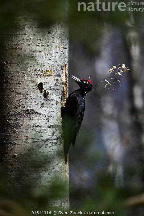 Black woodpecker (Dryocopus martius) excavating nest hole. Valgamaa, Southern Estonia. April.  ,  Animal,Wildlife,Vertebrate,Bird,Birds,Woodpecker,Black woodpecker,Animalia,Animal,Wildlife,Vertebrate,Aves,Bird,Birds,Piciformes,Picidae,Dryocopus,Woodpecker,Picinae,Dryocopus martius,Black woodpecker,Great black woodpecker,Pecking,Peck,Pecks,Drilling,Europe,Eastern Europe,East Europe,Baltic Countries,Estonia,Profile,Side View,Male Animal,Plant,Tree Trunk,Beak,Animal Home,Nest,Hole,Animal Behaviour,Nesting behaviour,Nest building,Behaviour,Nest hole,Valga County,Behavioural,Trunk,Valgamaa,  ,  Sven  Zacek