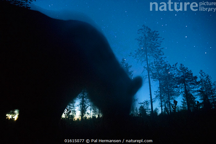 Bear (Ursus arctos) silhouetted at night under starry sky. Finland. August.  ,  Animal,Wildlife,Vertebrate,Mammal,Carnivore,Bear,Brown Bear,Animalia,Animal,Wildlife,Vertebrate,Mammalia,Mammal,Carnivora,Carnivore,Ursidae,Bear,Ursus,Ursus arctos,Brown Bear,Atmospheric Mood,Europe,Northern Europe,North Europe,Nordic Countries,Finland,Photographic Effect,Long Exposure,Back Lit,Plant,Tree,Night,Arty shots,Silhouette,,catalogue12  ,  Pal Hermansen