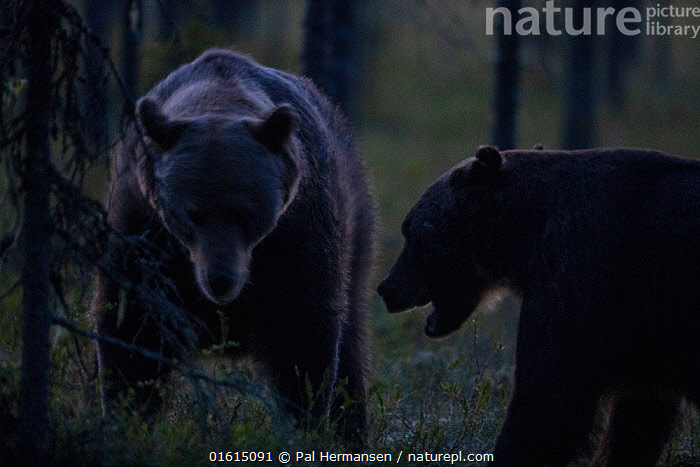 Brown bear (Ursus arctos), two showing aggression at night. Finland. August.  ,  Animal,Wildlife,Vertebrate,Mammal,Carnivore,Bear,Brown Bear,Animalia,Animal,Wildlife,Vertebrate,Mammalia,Mammal,Carnivora,Carnivore,Ursidae,Bear,Ursus,Ursus arctos,Brown Bear,Confronting,Confronts,Two,Dark,Europe,Northern Europe,North Europe,Nordic Countries,Finland,Front View,Side View,Mouth,Night,Animal Behaviour,Aggression,Behaviour,Two animals,Open Mouth,Behavioural,,catalogue12  ,  Pal Hermansen