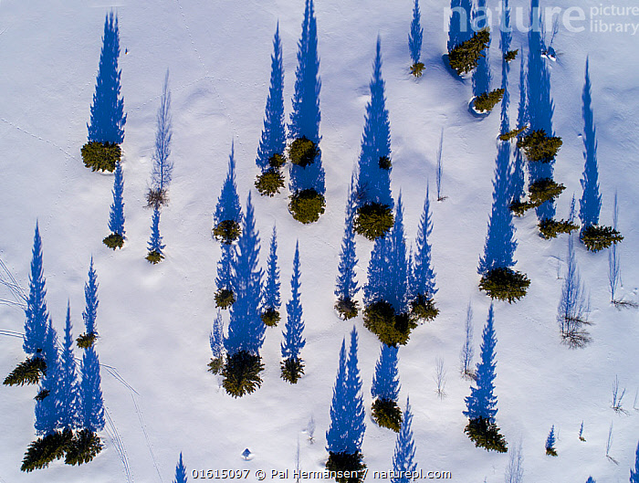 Scattered conifers with long shadows in snow, aerial shot. Golsfjell, Norway. March 2018., Colour,Blue,Europe,Northern Europe,North Europe,Nordic Countries,Scandinavia,Norway,Aerial View,High Angle View,Plant,Tree,Evergreen Tree,Coniferous Tree,Conifers,Shadow,Snow,Landscape,Winter,Beautiful,Elevated view,Conifer,Long Shadow,Drone,Drone shot,Drone shots,, Pal Hermansen