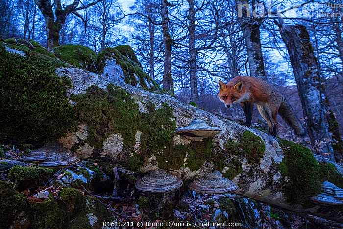 Red fox (Vulpes vulpes) walking on fallen centuries-old beech tree in Coppo del Principe old-growth Beech (Fagus sylvatica) forest on winter twilight. Abruzzo, Lazio and Molise National Park / Parco Nazionale d'Abruzzo, Lazio e Molise UNESCO World Heritage Site Italy. March. Remote camera trap image., Plant,Vascular plant,Flowering plant,Rosid,Beech tree,European beech tree,Animal,Wildlife,Vertebrate,Mammal,Carnivore,Canid,True fox,Red fox,Plantae,Plant,Tracheophyta,Vascular plant,Magnoliopsida,Flowering plant,Angiosperm,Seed plant,Spermatophyte,Spermatophytina,Angiospermae,Fagales,Rosid,Dicot,Dicotyledon,Rosanae,Fagaceae,Fagus,Beech tree,Beech,Fagus sylvatica,European beech tree,Common beech,Castanea fagus,Fagus asplenifolia,Fagus cristata,Animalia,Animal,Wildlife,Vertebrate,Mammalia,Mammal,Carnivora,Carnivore,Canidae,Canid,Vulpes,True fox,Vulpini,Caninae,Vulpes vulpes,Red fox,Europe,Southern Europe,Italy,Abruzzo,Tree,Deciduous,Beech Tree,Beech Trees,Beeches,Twilight,Woodland,Broadleaf woodland,Reserve,Forest,Protected area,National Park,Tree,Trees, Bruno D'Amicis