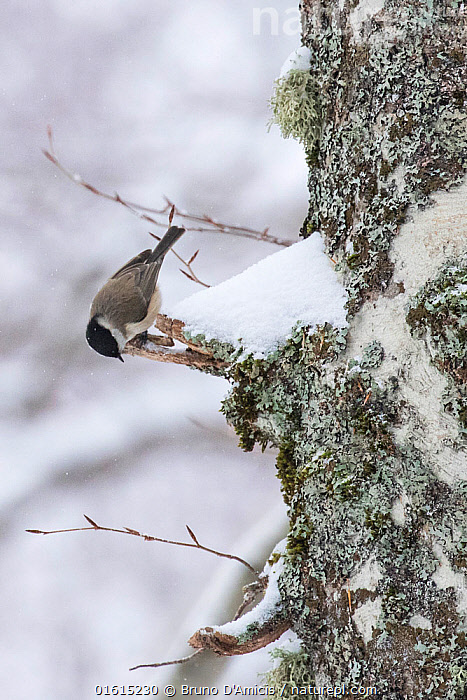 Marsh tit (Parus palustris) searching for food on centuries-old Beech (Fagus sylvatica) tree bark in Coppo del Principe old-growth beech forest during a winter snowfall. Abruzzo, Lazio and Molise National Park / Parco Nazionale d'Abruzzo, Lazio e Molise UNESCO World Heritage Site, Pescasseroli, Italy. March.  ,  Plant,Vascular plant,Flowering plant,Rosid,Beech tree,European beech tree,Animal,Wildlife,Vertebrate,Bird,Birds,Songbird,Tit,Marsh tit,Plantae,Plant,Tracheophyta,Vascular plant,Magnoliopsida,Flowering plant,Angiosperm,Seed plant,Spermatophyte,Spermatophytina,Angiospermae,Fagales,Rosid,Dicot,Dicotyledon,Rosanae,Fagaceae,Fagus,Beech tree,Beech,Fagus sylvatica,European beech tree,Common beech,Fagus asplenifolia,Fagus cristata,Animalia,Animal,Wildlife,Vertebrate,Aves,Bird,Birds,Passeriformes,Songbird,Passerine,Paridae,Tit,Poecile,Poecile palustris,Marsh tit,Parus palustris,Europe,Southern Europe,Italy,Abruzzo,Tree,Deciduous,Beech Tree,Beech Trees,Beeches,Snow,Winter,Woodland,Broadleaf woodland,Reserve,Forest,Protected area,National Park,Tree,Trees  ,  Bruno D'Amicis
