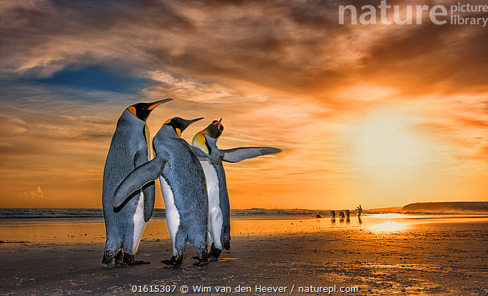 King penguins (Aptenodytes patagonicus) at sunrise. Two males and a female, with the males fighting for the attention of the female. Falklands Islands. 2018 Wildlife Photographer of the Year LUMIX People's Choice Award, Highly Commended  ,  Animal,Wildlife,Vertebrate,Bird,Birds,Penguin,King penguin,Animalia,Animal,Wildlife,Vertebrate,Aves,Bird,Birds,Sphenisciformes,Penguin,Seabird,Spheniscidae,Aptenodytes,Aptenodytes patagonicus,King penguin,Courting,Atmospheric Mood,Rivalry,Rival,Rivals,Colour,Orange,Yellow,Colourful,Few,Three,Group,Sky,Cloud,Sunrise,Beautiful,Coast,Coastal,Animal Behaviour,Reproduction,Mating Behaviour,Courtship,Atlantic Islands,Behaviour,Dawn,Small group of animals,Behavioural,Flightless,, catalogue11  ,  Wim van den Heever