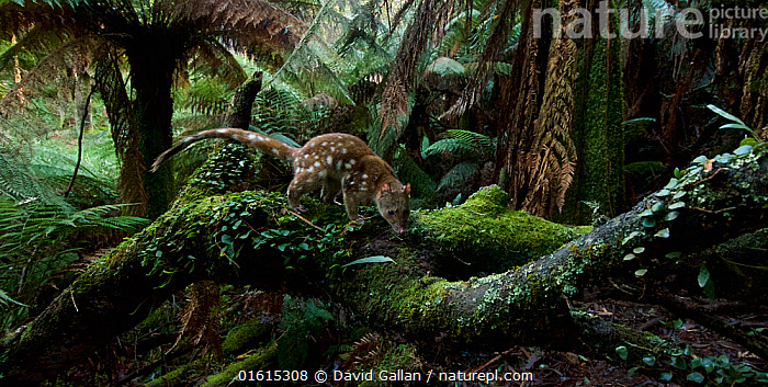 Spotted-tailed quoll (Dasyurus maculatus) scent marking in Monga National Park, New South Wales, Australia. Remote camera, triggered by movement. Highly Commended 2018 Wildlife Photographer Of The Year, Animals in their Environment category., Animal,Wildlife,Vertebrate,Mammal,Marsupial,Quoll,Spotted-tailed Quoll,Animalia,Animal,Wildlife,Vertebrate,Mammalia,Mammal,Marsupialia,Marsupial,Dasyuridae,Dasyurus,Quoll,Dasyurus maculatus,Spotted-tailed Quoll,Spotted-tailed dasyure,Tiger quoll,Colour,Green,Australasia,Australia,New South Wales,Rainforest,Habitat,Animal Behaviour,Territorial,Reserve,Forest,Behaviour,Scent Marking,Protected area,National Park,Behavioural,, David Gallan