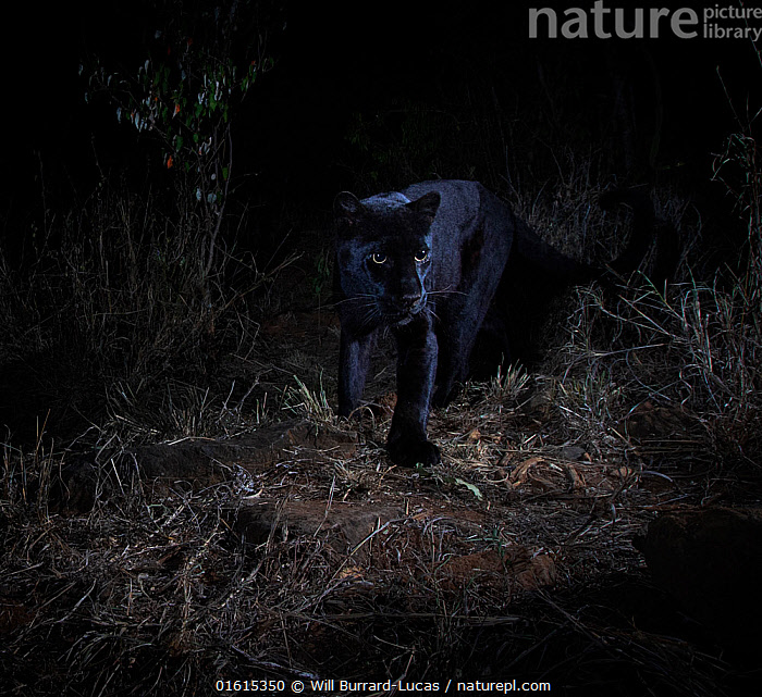 Young male melanistic leopard (Panthera pardus), Laikipia Wilderness Camp, Kenya. Photographed with a camera trap.  ,  Animal,Wildlife,Vertebrate,Mammal,Carnivore,Cat,Big cat,Leopard,Animalia,Animal,Wildlife,Vertebrate,Mammalia,Mammal,Carnivora,Carnivore,Felidae,Cat,Panthera,Big cat,Panthera pardus,Leopards,Atmospheric Mood,Mystery,Colour,Black,Dark,Africa,East Africa,Kenya,Portrait,Male Animal,Night,Leopard,Melanism,Colour morphs,Mythical,Laikipia,Black panther,Melanistic,Black,Endagered species,Threatened,Vulnerable  ,  Will Burrard-Lucas