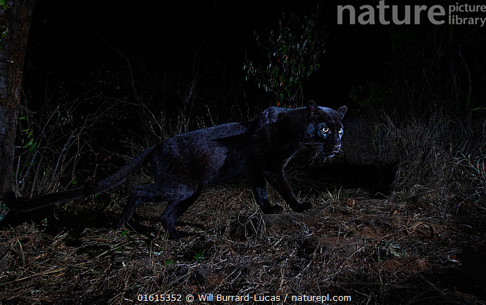 Young male melanistic leopard (Panthera pardus), Laikipia Wilderness Camp, Kenya. Photographed with a camera trap.  ,  Animal,Wildlife,Vertebrate,Mammal,Carnivore,Cat,Big cat,Leopard,Animalia,Animal,Wildlife,Vertebrate,Mammalia,Mammal,Carnivora,Carnivore,Felidae,Cat,Panthera,Big cat,Panthera pardus,Leopards,Atmospheric Mood,Mystery,Colour,Black,Dark,Africa,East Africa,Kenya,Male Animal,Night,Leopard,Melanism,Colour morphs,Mythical,Laikipia,Black panther,Melanistic,Black,Endagered species,Threatened,Vulnerable  ,  Will Burrard-Lucas