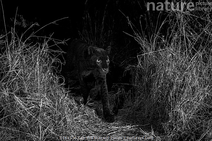 Young male melanistic leopard (Panthera pardus), Laikipia Wilderness Camp, Kenya. Photographed with a camera trap. Black and white., Animal,Wildlife,Vertebrate,Mammal,Carnivore,Cat,Big cat,Leopard,Animalia,Animal,Wildlife,Vertebrate,Mammalia,Mammal,Carnivora,Carnivore,Felidae,Cat,Panthera,Big cat,Panthera pardus,Leopards,Atmospheric Mood,Mystery,Colour,Black,Dark,Africa,East Africa,Kenya,B/W,Monochromatic,Male Animal,Night,Leopard,Melanism,Colour morphs,Mythical,Laikipia,Black panther,Melanistic,Black,Endagered species,Threatened,Vulnerable, Will Burrard-Lucas