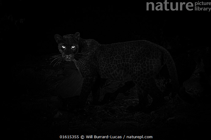 Young male melanistic leopard (Panthera pardus), Laikipia Wilderness Camp, Kenya. Photographed with a camera trap., Animal,Wildlife,Vertebrate,Mammal,Carnivore,Cat,Big cat,Leopard,Animalia,Animal,Wildlife,Vertebrate,Mammalia,Mammal,Carnivora,Carnivore,Felidae,Cat,Panthera,Big cat,Panthera pardus,Leopards,Atmospheric Mood,Mystery,Colour,Black,Dark,Africa,East Africa,Kenya,Copy Space,Male Animal,Animal Eye,Eyes,Night,Leopard,Melanism,Colour morphs,Negative space,Mythical,Laikipia,Black panther,Melanistic,Black,Endagered species,Threatened,Vulnerable, Will Burrard-Lucas