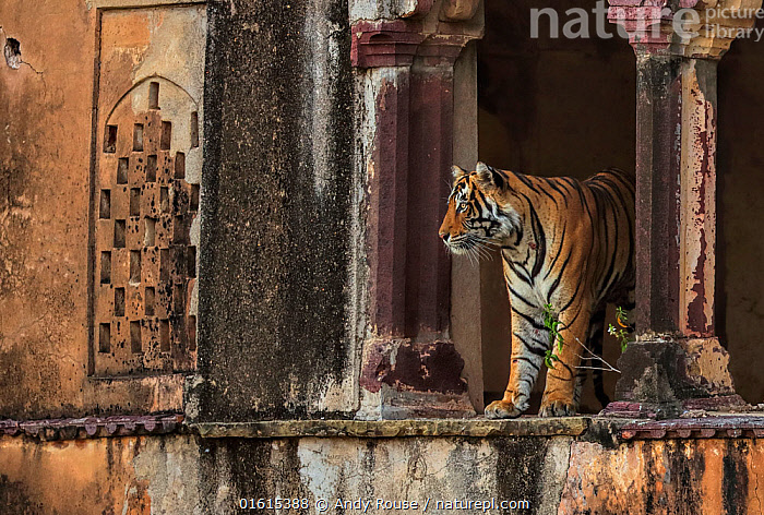 Bengal tiger (Panthera tigris) male Cowboy T91 in old building, Ranthambhore, India . Medium size repro only, Animal,Wildlife,Vertebrate,Mammal,Carnivore,Cat,Big cat,Tiger,Animalia,Animal,Wildlife,Vertebrate,Mammalia,Mammal,Carnivora,Carnivore,Felidae,Cat,Panthera,Big cat,Panthera tigris,Tiger,Felis tigris,Tigris striatus,Tigris regalis,Asia,Indian Subcontinent,India,Male Animal,Ruins,Ruin,Reserve,Protected area,National Park,Rajasthan,Ranthambore National Park,Endangered species,threatened,Endangered, Andy Rouse