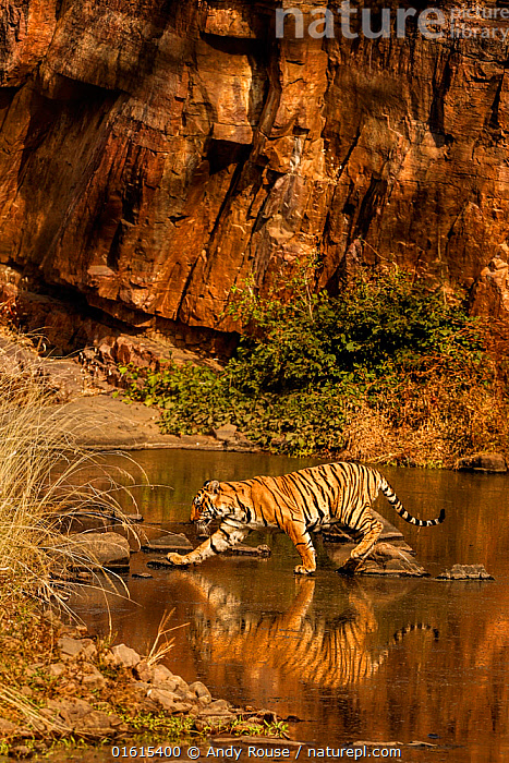Bengal tiger (Panthera tigris) walking through water, Ranthambhore, India. December  ,  Animal,Wildlife,Vertebrate,Mammal,Carnivore,Cat,Big cat,Tiger,Animalia,Animal,Wildlife,Vertebrate,Mammalia,Mammal,Carnivora,Carnivore,Felidae,Cat,Panthera,Big cat,Panthera tigris,Tiger,Felis tigris,Tigris striatus,Tigris regalis,Colour,Golden,Asia,Indian Subcontinent,India,Reserve,Protected area,National Park,Rajasthan,Ranthambore National Park,Endangered species,threatened,Endangered,,catalogue12  ,  Andy Rouse