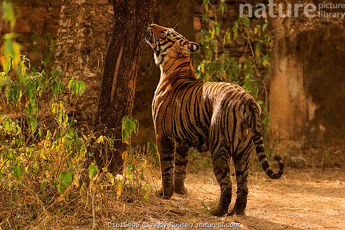 Bengal tiger (Panthera tigris) tigress Arrowhead sniffing tree for scent, Ranthambhore, India  ,  Animal,Wildlife,Vertebrate,Mammal,Carnivore,Cat,Big cat,Tiger,Animalia,Animal,Wildlife,Vertebrate,Mammalia,Mammal,Carnivora,Carnivore,Felidae,Cat,Panthera,Big cat,Panthera tigris,Tiger,Felis tigris,Tigris striatus,Tigris regalis,Asia,Indian Subcontinent,India,Female animal,Animal Behaviour,Territorial,Reserve,Behaviour,Protected area,National Park,Rajasthan,Ranthambore National Park,Behavioural,Endangered species,threatened,Endangered,,catalogue12  ,  Andy Rouse